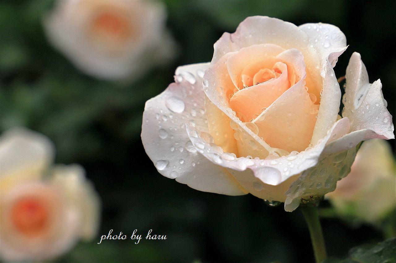 雨上がりのバラ園_f0297537_07212229.jpg