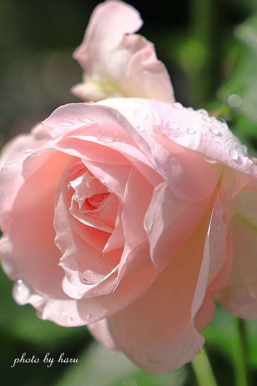 雨上がりのバラ園_f0297537_07213952.jpg