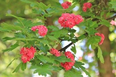 花盛りの弘前城植物園へ_2019.05.22_d0131668_13172023.jpg
