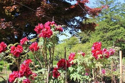 花盛りの弘前城植物園へ_2019.05.22_d0131668_13203560.jpg