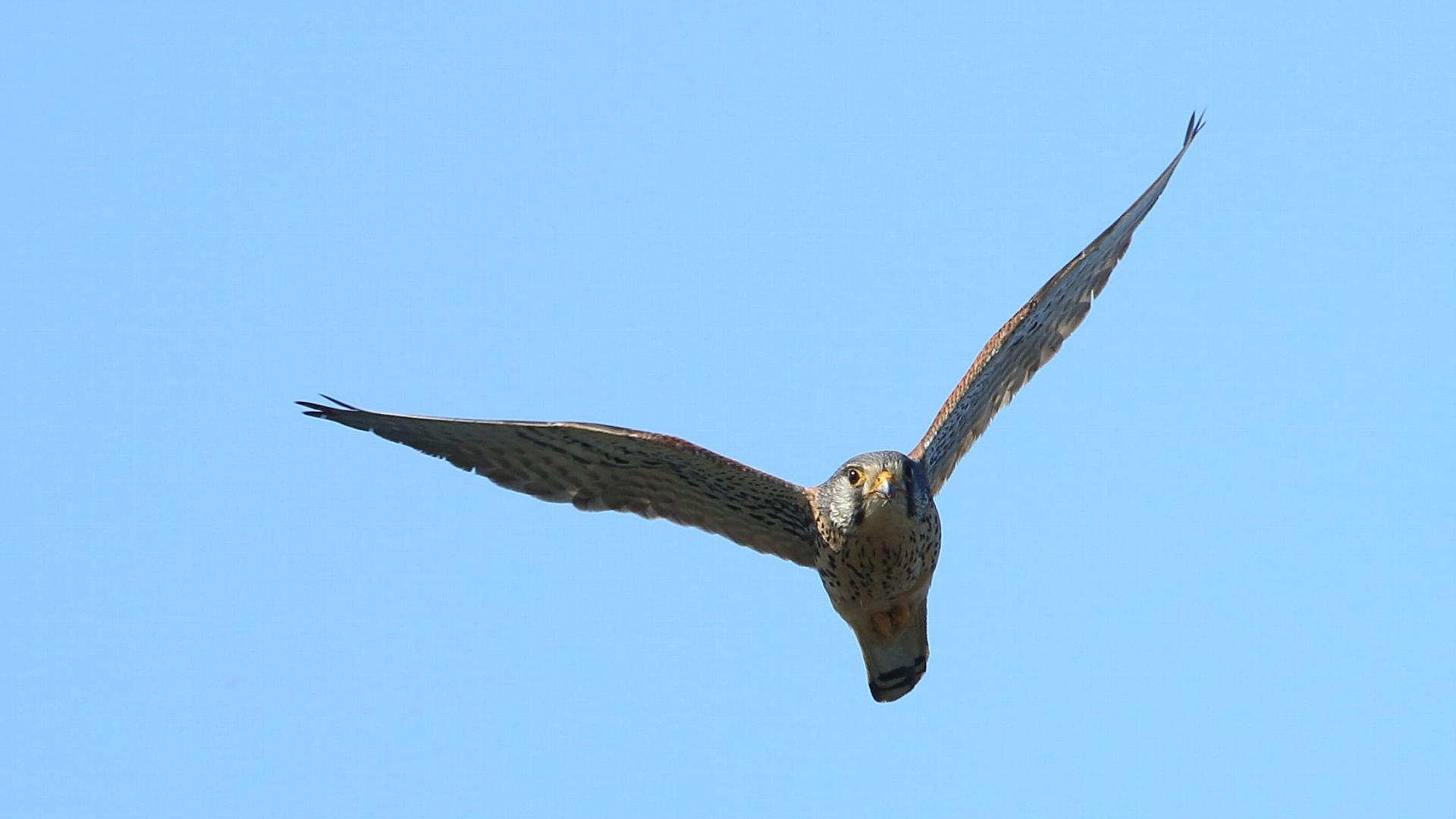 こちらに向かって飛んできたチョウゲンボウお父さん_f0105570_21243497.jpg