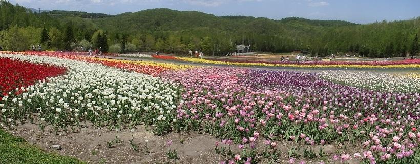 札幌 滝野すずらん丘陵公園でチューリップが満開です。_f0362073_15380945.jpg