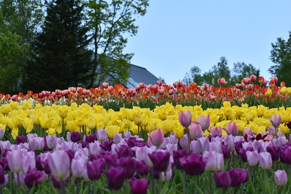 札幌 滝野すずらん丘陵公園でチューリップが満開です。_f0362073_15412352.jpg