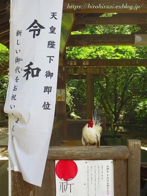 奈良 石上神宮 の鶏_f0374092_13104342.jpg