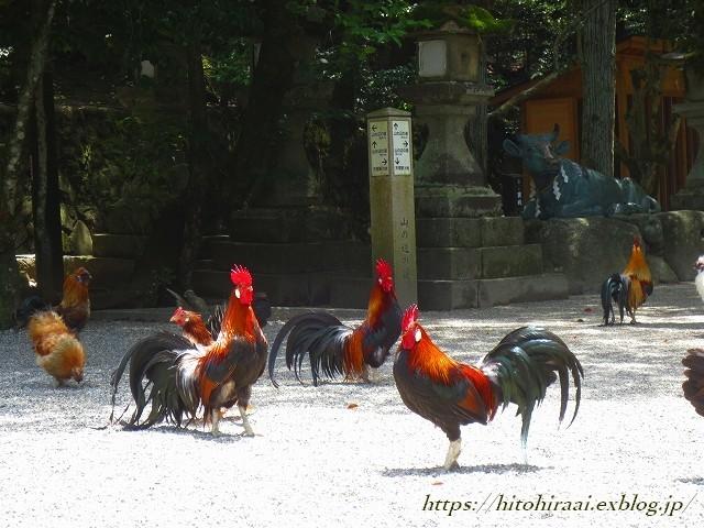 奈良 石上神宮 の鶏_f0374092_13245955.jpg