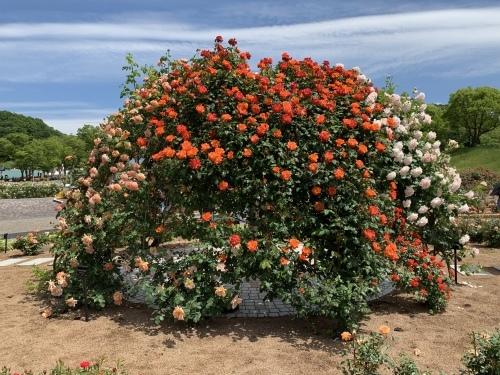 バラを見に行く_e0358096_19575439.jpeg
