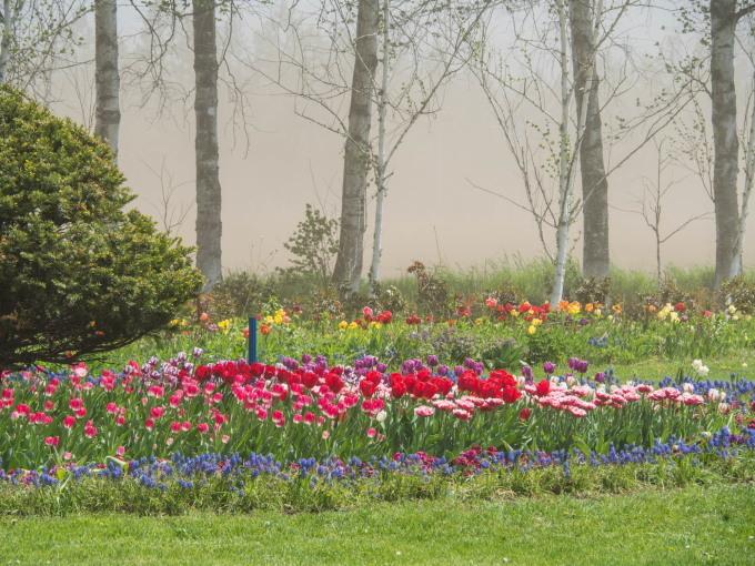 強風と激しい砂嵐の中・・チューリップを観に紫竹ガーデンへ。_f0276498_00395713.jpg