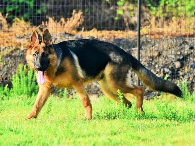 オオカミのようだ_d0360206_01290305.jpg