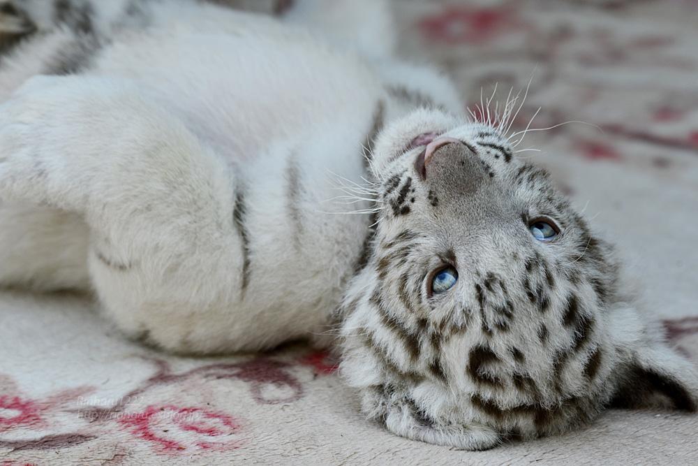 2019.5.11 宇都宮動物園☆ホワイトタイガーのグーナくん♪<後編>【White tiger baby】_f0250322_2185415.jpg