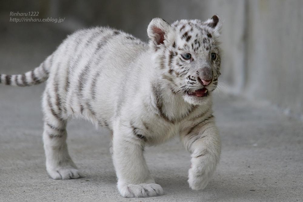 2019.5.11 宇都宮動物園☆ホワイトタイガーのグーナくん♪<後編>【White tiger baby】_f0250322_218631.jpg