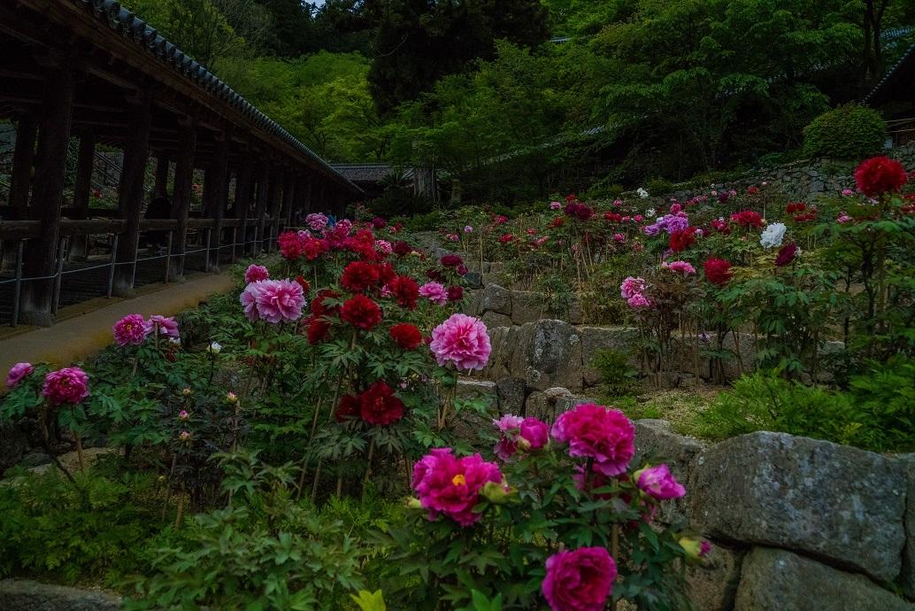長谷寺のぼたんまつり_e0363038_13085199.jpg