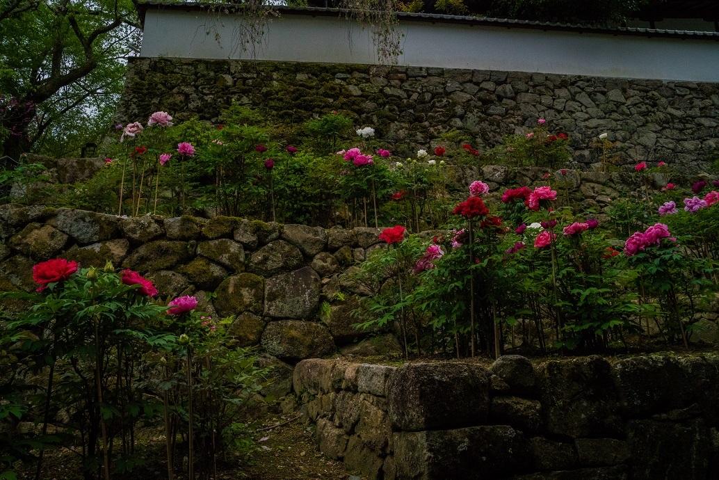 長谷寺のぼたんまつり_e0363038_13085573.jpg
