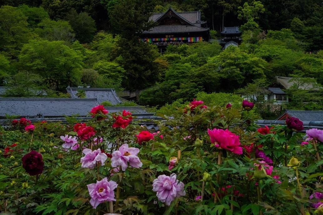 長谷寺のぼたんまつり_e0363038_13093829.jpg