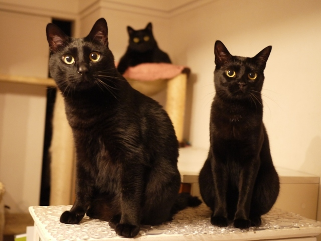 3匹の黒猫 ぎゃぉすてぃぁらめりぃぽぴんず編。_a0143140_22043271.jpg