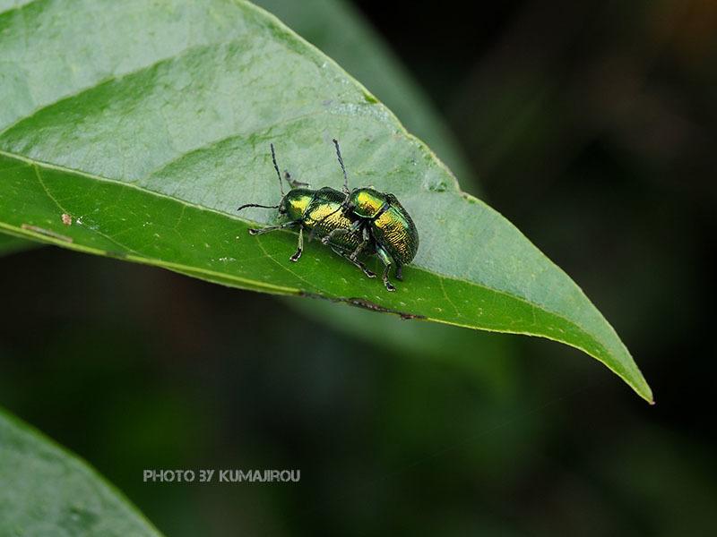 久米島のハムシ科昆虫_b0192746_21102372.jpg