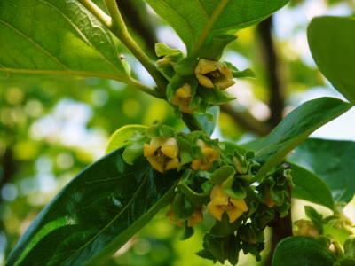太秋柿 古川果樹園さんの柿園に元気な花が咲きました(2019) 今年も惜しまぬ手間ひまで育てます!_a0254656_17513405.jpg