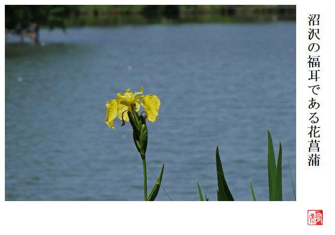 沼沢の福耳である花菖蒲_a0248481_19392032.jpg