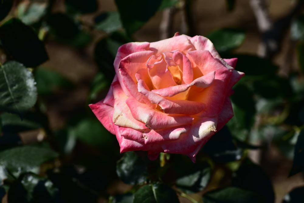 旧古河庭園のバラ2018_c0252688_15340165.jpg
