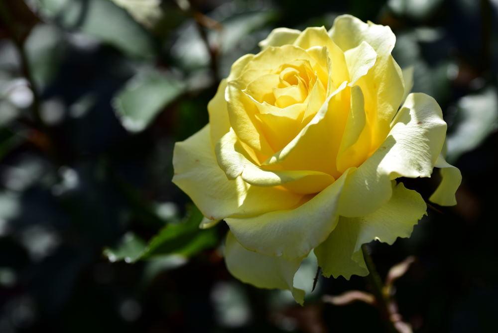 旧古河庭園のバラ2018_c0252688_15341019.jpg