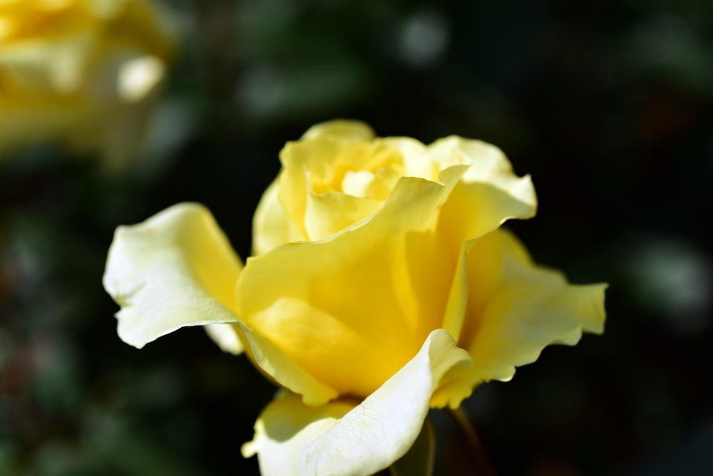 旧古河庭園のバラ2018_c0252688_15343392.jpg