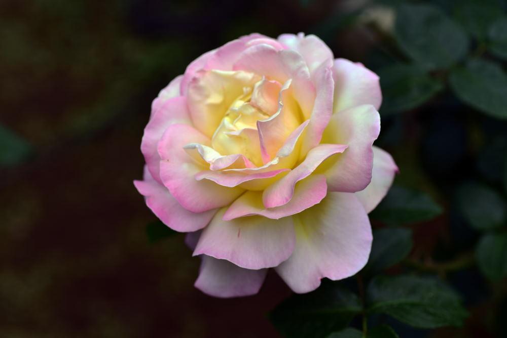 旧古河庭園のバラ2018_c0252688_15344228.jpg