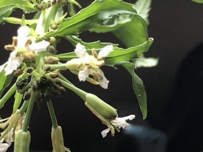 大根の花は白いんだ_c0341450_06033795.jpg
