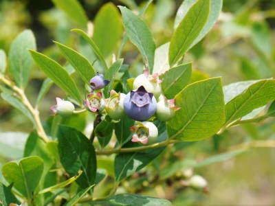 無農薬フレッシュブルーベリー 花から着果、そして色づきへ!おしどり夫婦は仲良く個展を開催しました!_a0254656_16595071.jpg