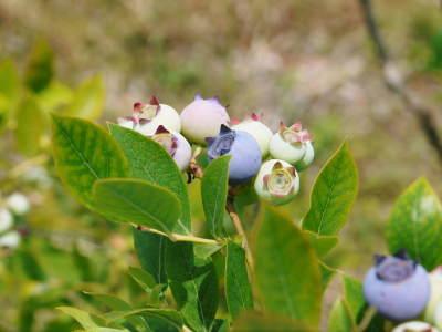 無農薬フレッシュブルーベリー 花から着果、そして色づきへ!おしどり夫婦は仲良く個展を開催しました!_a0254656_17003183.jpg