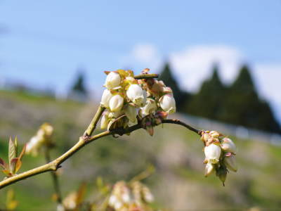 無農薬フレッシュブルーベリー 花から着果、そして色づきへ!おしどり夫婦は仲良く個展を開催しました!_a0254656_17065631.jpg