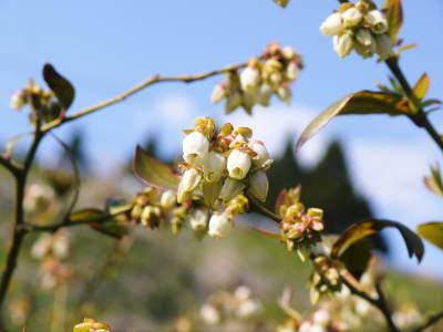 無農薬フレッシュブルーベリー 花から着果、そして色づきへ!おしどり夫婦は仲良く個展を開催しました!_a0254656_17073349.jpg