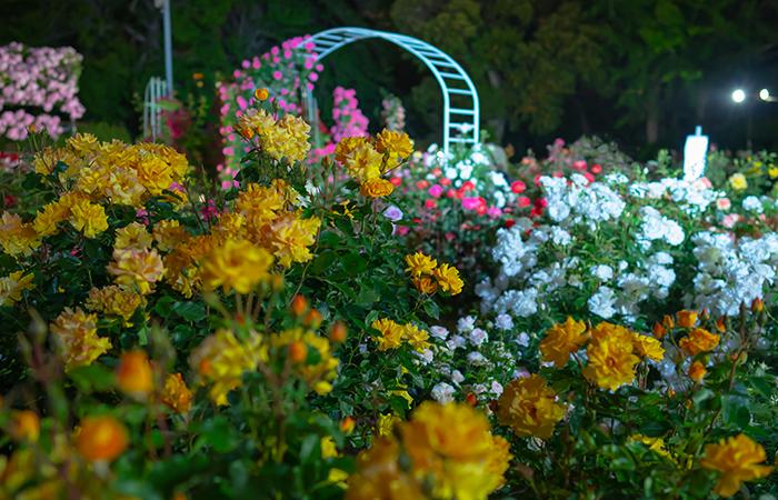 日比谷花壇大船フラワーセンター 夜のバラ園 『ナイトローズ』_b0145398_22161948.jpg
