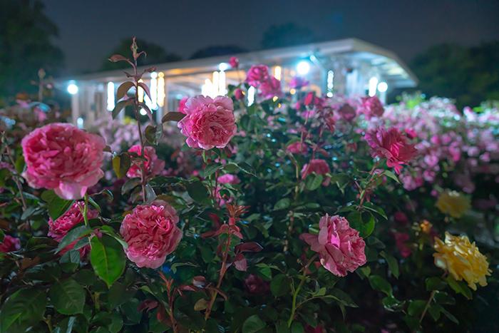 日比谷花壇大船フラワーセンター 夜のバラ園 『ナイトローズ』_b0145398_22163909.jpg