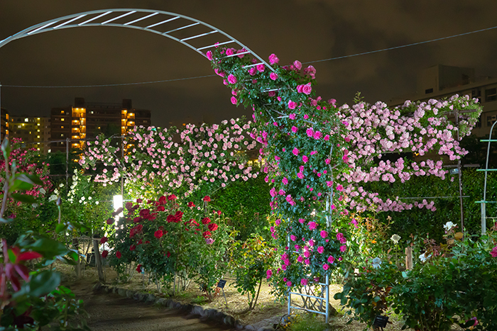 日比谷花壇大船フラワーセンター 夜のバラ園 『ナイトローズ』_b0145398_22485952.jpg
