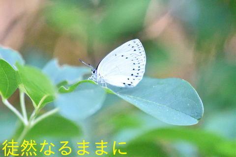 速報♪    ウラナミアカシジミ & アカシジミ  in  I湿原_d0285540_09372965.jpg
