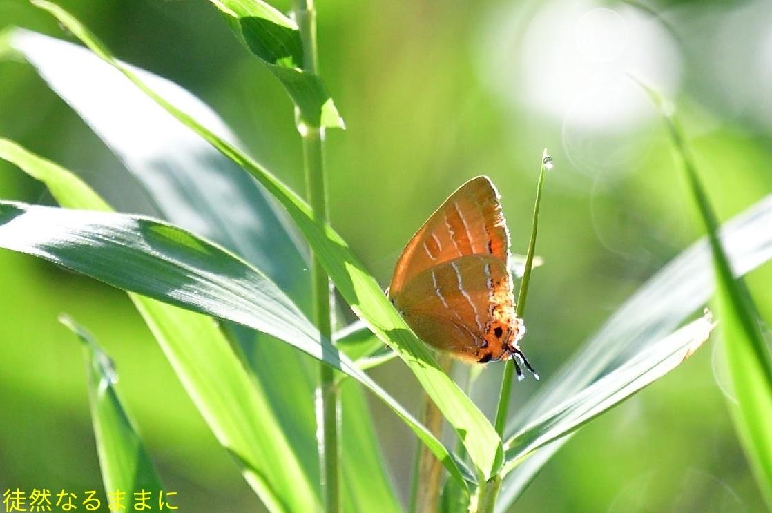 速報♪    ウラナミアカシジミ & アカシジミ  in  I湿原_d0285540_09384835.jpg