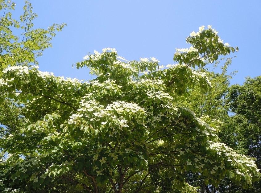 初夏の公園には白い花が似合う_b0102572_10574810.jpg