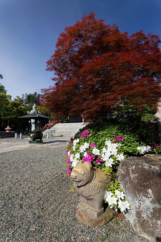 初夏の花巡り・平戸躑躅 妙満寺_f0032011_21231145.jpg