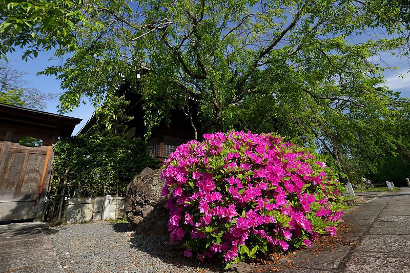 初夏の花巡り・平戸躑躅 妙満寺_f0032011_21231183.jpg