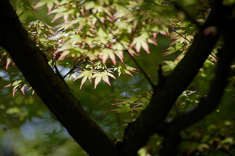初夏の花巡り・平戸躑躅 妙満寺_f0032011_21231188.jpg