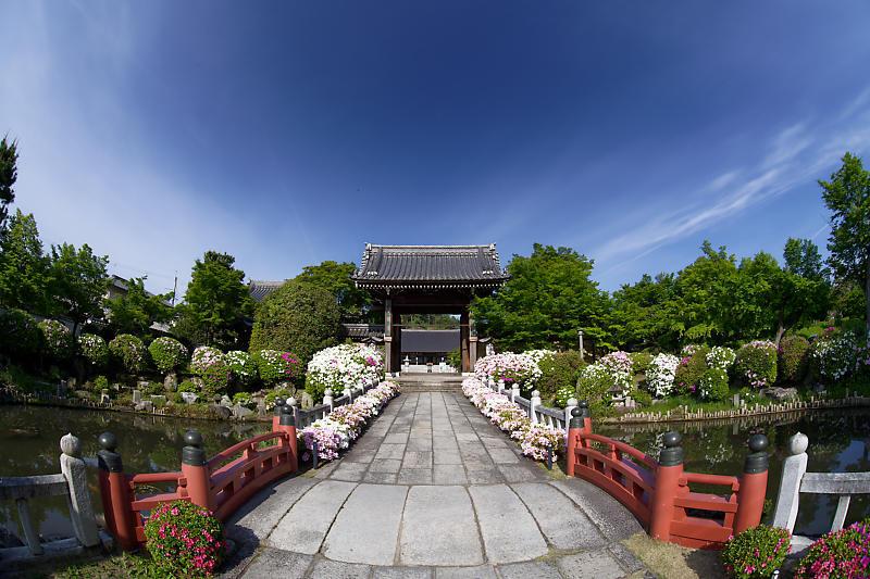 初夏の花巡り・平戸躑躅 妙満寺_f0032011_21231230.jpg