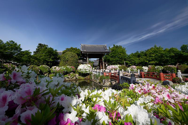初夏の花巡り・平戸躑躅 妙満寺_f0032011_21231274.jpg