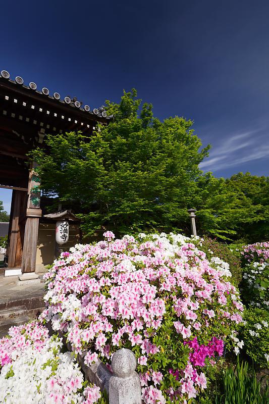 初夏の花巡り・平戸躑躅 妙満寺_f0032011_21231280.jpg