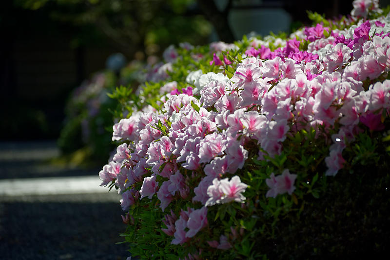 初夏の花巡り・平戸躑躅 妙満寺_f0032011_21262422.jpg