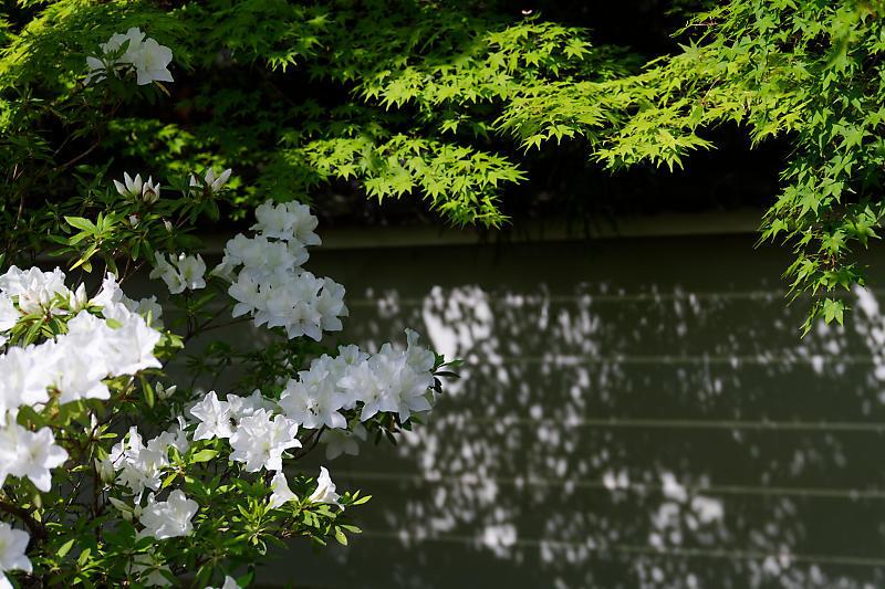 初夏の花巡り・平戸躑躅 妙満寺_f0032011_21262501.jpg