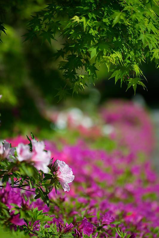 初夏の花巡り・平戸躑躅 妙満寺_f0032011_21262562.jpg
