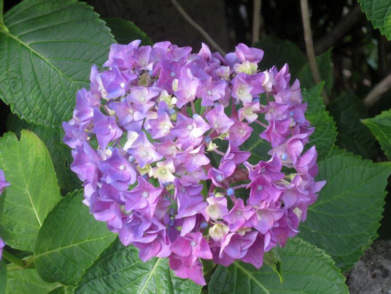 ■もうすぐ紫陽花満開ウォーキング[5/20-26]_d0190217_22005108.jpg