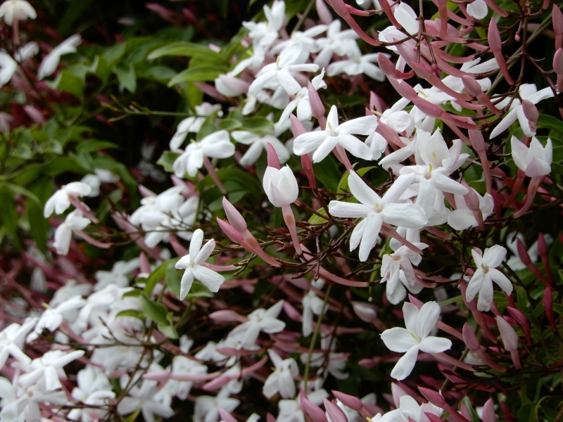 ヤスマンのかをり * fragrance of jasmine_f0374041_08290651.jpg