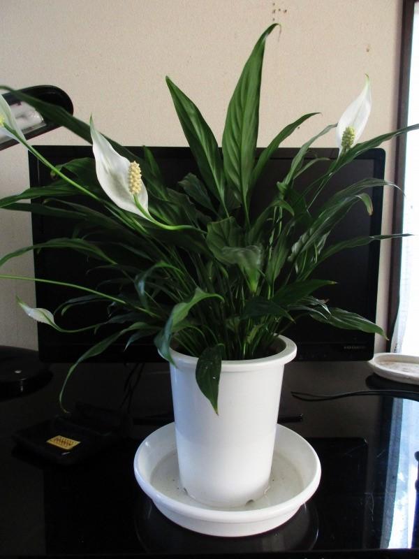 植物「リベンジ&アオワーネッキー発根」_b0362459_16493378.jpg