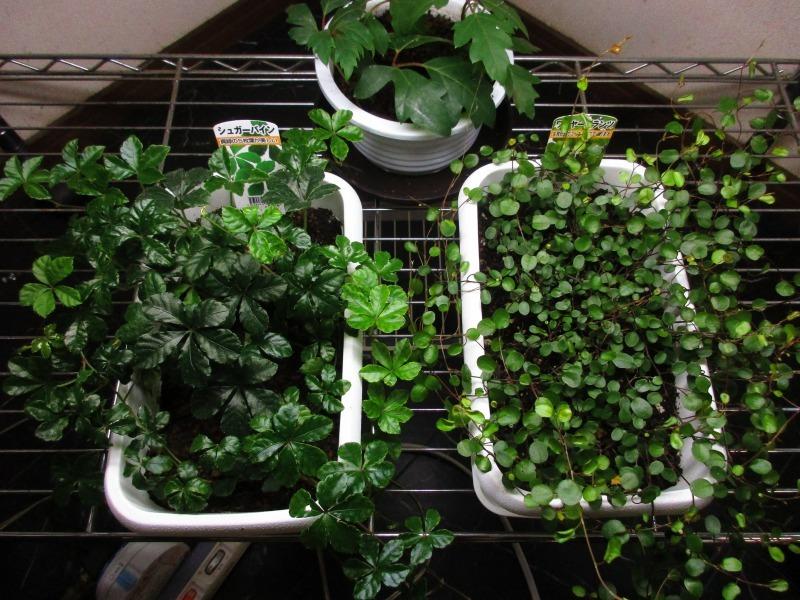 植物「リベンジ&アオワーネッキー発根」_b0362459_16542015.jpg