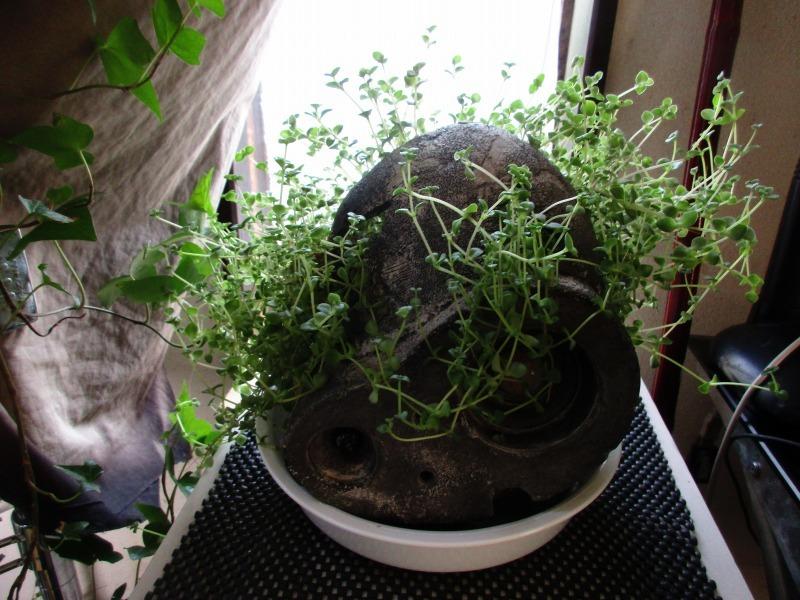 植物「リベンジ&アオワーネッキー発根」_b0362459_16562660.jpg